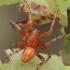 Rausvapilvis kryžiuotis - Araneus alsine, patinas | Fotografijos autorius : Gintautas Steiblys | © Macrogamta.lt | Šis tinklapis priklauso bendruomenei kuri domisi makro fotografija ir fotografuoja gyvąjį makro pasaulį.
