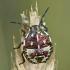 Rausvasparnė skydblakė - Carpocoris purpureipennis, nimfa | Fotografijos autorius : Gintautas Steiblys | © Macrogamta.lt | Šis tinklapis priklauso bendruomenei kuri domisi makro fotografija ir fotografuoja gyvąjį makro pasaulį.