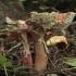 Rausvoji musmirė - Amanita rubescens   Fotografijos autorius : Vytautas Gluoksnis   © Macrogamta.lt   Šis tinklapis priklauso bendruomenei kuri domisi makro fotografija ir fotografuoja gyvąjį makro pasaulį.