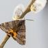 Retasis pavasarinukas - Boudinotiana notha | Fotografijos autorius : Vaida Paznekaitė | © Macrogamta.lt | Šis tinklapis priklauso bendruomenei kuri domisi makro fotografija ir fotografuoja gyvąjį makro pasaulį.