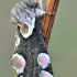Rožinis pūkanugaris - Thyatira batis   Fotografijos autorius : Arūnas Eismantas   © Macrogamta.lt   Šis tinklapis priklauso bendruomenei kuri domisi makro fotografija ir fotografuoja gyvąjį makro pasaulį.