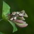 Rožinis pūkanugaris - Thyatira batis | Fotografijos autorius : Žilvinas Pūtys | © Macrogamta.lt | Šis tinklapis priklauso bendruomenei kuri domisi makro fotografija ir fotografuoja gyvąjį makro pasaulį.