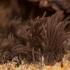 Rudasis šerpis - Stemonitis fusca | Fotografijos autorius : Žilvinas Pūtys | © Macrogamta.lt | Šis tinklapis priklauso bendruomenei kuri domisi makro fotografija ir fotografuoja gyvąjį makro pasaulį.