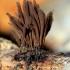 Rudasis šerpis - Stemonitis fusca | Fotografijos autorius : Ramunė Vakarė | © Macrogamta.lt | Šis tinklapis priklauso bendruomenei kuri domisi makro fotografija ir fotografuoja gyvąjį makro pasaulį.