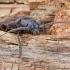 Rudasis gaisrasekis - Arhopalus rusticus | Fotografijos autorius : Kazimieras Martinaitis | © Macrogamta.lt | Šis tinklapis priklauso bendruomenei kuri domisi makro fotografija ir fotografuoja gyvąjį makro pasaulį.