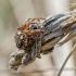Rudasis raizginiuotis | Agalenatea redii | Fotografijos autorius : Darius Baužys | © Macrogamta.lt | Šis tinklapis priklauso bendruomenei kuri domisi makro fotografija ir fotografuoja gyvąjį makro pasaulį.