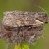 Rudeninis ilgasparniukas - Lithophane consocia | Fotografijos autorius : Žilvinas Pūtys | © Macrogamta.lt | Šis tinklapis priklauso bendruomenei kuri domisi makro fotografija ir fotografuoja gyvąjį makro pasaulį.