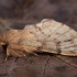 Rudeninis kuoduotis - Ptilophora plumigera | Fotografijos autorius : Žilvinas Pūtys | © Macrogamta.lt | Šis tinklapis priklauso bendruomenei kuri domisi makro fotografija ir fotografuoja gyvąjį makro pasaulį.