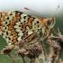 Rudgelsvė šaškytė - Melitaea cinxia | Fotografijos autorius : Ramunė Vakarė | © Macrogamta.lt | Šis tinklapis priklauso bendruomenei kuri domisi makro fotografija ir fotografuoja gyvąjį makro pasaulį.