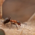 Mažoji miško skruzdėlė - Formica polyctena | Fotografijos autorius : Agnė Našlėnienė | © Macrogamta.lt | Šis tinklapis priklauso bendruomenei kuri domisi makro fotografija ir fotografuoja gyvąjį makro pasaulį.