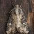 Ruginis stiebinukas - Mesapamea secalis | Fotografijos autorius : Žilvinas Pūtys | © Macrogamta.lt | Šis tinklapis priklauso bendruomenei kuri domisi makro fotografija ir fotografuoja gyvąjį makro pasaulį.
