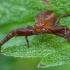 Ruožuotasis krabvoris - Xysticus bifasciatus ♀ | Fotografijos autorius : Žilvinas Pūtys | © Macrogamta.lt | Šis tinklapis priklauso bendruomenei kuri domisi makro fotografija ir fotografuoja gyvąjį makro pasaulį.