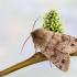 Rusvasis ankstyvasis pelėdgalvis - Anorthoa munda | Fotografijos autorius : Vaida Paznekaitė | © Macrogamta.lt | Šis tinklapis priklauso bendruomenei kuri domisi makro fotografija ir fotografuoja gyvąjį makro pasaulį.