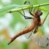Rusvoji skėtė - Libellula fulva | Fotografijos autorius : Arūnas Eismantas | © Macrogamta.lt | Šis tinklapis priklauso bendruomenei kuri domisi makro fotografija ir fotografuoja gyvąjį makro pasaulį.