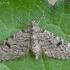 Ryškiadėmis sprindytis - Eupithecia conterminata | Fotografijos autorius : Gintautas Steiblys | © Macrogamta.lt | Šis tinklapis priklauso bendruomenei kuri domisi makro fotografija ir fotografuoja gyvąjį makro pasaulį.