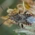 Ryškiapilvė kampuotblakė - Stictopleurus punctatonervosus ♀ | Fotografijos autorius : Žilvinas Pūtys | © Macrogamta.lt | Šis tinklapis priklauso bendruomenei kuri domisi makro fotografija ir fotografuoja gyvąjį makro pasaulį.