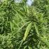 Sėjamoji kanapė - Cannabis sativa   Fotografijos autorius : Kazimieras Martinaitis   © Macrogamta.lt   Šis tinklapis priklauso bendruomenei kuri domisi makro fotografija ir fotografuoja gyvąjį makro pasaulį.