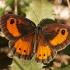 Satyras - Pyronia bathseba | Fotografijos autorius : Gintautas Steiblys | © Macrogamta.lt | Šis tinklapis priklauso bendruomenei kuri domisi makro fotografija ir fotografuoja gyvąjį makro pasaulį.