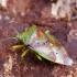 Sausmedinė skydblakė - Elasmostethus minor ♀ | Fotografijos autorius : Romas Ferenca | © Macrogamta.lt | Šis tinklapis priklauso bendruomenei kuri domisi makro fotografija ir fotografuoja gyvąjį makro pasaulį.