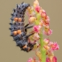 Septyntaškė boružė - Coccinella septempunctata, lerva | Fotografijos autorius : Žilvinas Pūtys | © Macrogamta.lt | Šis tinklapis priklauso bendruomenei kuri domisi makro fotografija ir fotografuoja gyvąjį makro pasaulį.