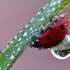 Septyntaškė boružė - Coccinella septempunctata | Fotografijos autorius : Arūnas Eismantas | © Macrogamta.lt | Šis tinklapis priklauso bendruomenei kuri domisi makro fotografija ir fotografuoja gyvąjį makro pasaulį.