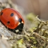 Septyntaškė boružė - Coccinella septempunctata | Fotografijos autorius : Agnė Našlėnienė | © Macrogamta.lt | Šis tinklapis priklauso bendruomenei kuri domisi makro fotografija ir fotografuoja gyvąjį makro pasaulį.