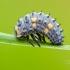 Septyntaškės boružės lerva | Fotografijos autorius : Darius Baužys | © Macrogamta.lt | Šis tinklapis priklauso bendruomenei kuri domisi makro fotografija ir fotografuoja gyvąjį makro pasaulį.