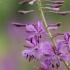 Siauralapis gaurometis - Chamerion angustifolium | Fotografijos autorius : Agnė Našlėnienė | © Macrogamta.lt | Šis tinklapis priklauso bendruomenei kuri domisi makro fotografija ir fotografuoja gyvąjį makro pasaulį.