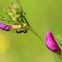 Siauralapis vikis - Vicia angustifolia | Fotografijos autorius : Ramunė Vakarė | © Macrogamta.lt | Šis tinklapis priklauso bendruomenei kuri domisi makro fotografija ir fotografuoja gyvąjį makro pasaulį.