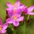 Skėtinė širdažolė - Centaurium erythraea | Fotografijos autorius : Ramunė Činčikienė | © Macrogamta.lt | Šis tinklapis priklauso bendruomenei kuri domisi makro fotografija ir fotografuoja gyvąjį makro pasaulį.