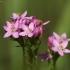 Skėtinė širdažolė - Centaurium erythraea | Fotografijos autorius : Vidas Brazauskas | © Macrogamta.lt | Šis tinklapis priklauso bendruomenei kuri domisi makro fotografija ir fotografuoja gyvąjį makro pasaulį.
