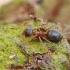 Skruzdėlė - Lasius brunneus | Fotografijos autorius : Gintautas Steiblys | © Macrogamta.lt | Šis tinklapis priklauso bendruomenei kuri domisi makro fotografija ir fotografuoja gyvąjį makro pasaulį.
