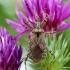 Skruzdėlinė skerdblakė - Himacerus mirmicoides | Fotografijos autorius : Vaida Paznekaitė | © Macrogamta.lt | Šis tinklapis priklauso bendruomenei kuri domisi makro fotografija ir fotografuoja gyvąjį makro pasaulį.