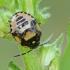 Baltadėmė urvablakė - Tritomegas bicolor, nimfa | Fotografijos autorius : Gintautas Steiblys | © Macrogamta.lt | Šis tinklapis priklauso bendruomenei kuri domisi makro fotografija ir fotografuoja gyvąjį makro pasaulį.