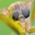 Slankmusė - Rhagio tringarius | Fotografijos autorius : Darius Baužys | © Macrogamta.lt | Šis tinklapis priklauso bendruomenei kuri domisi makro fotografija ir fotografuoja gyvąjį makro pasaulį.