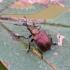 Slyvinis cigarsukis - Involvulus cupreus? | Fotografijos autorius : Kazimieras Martinaitis | © Macrogamta.lt | Šis tinklapis priklauso bendruomenei kuri domisi makro fotografija ir fotografuoja gyvąjį makro pasaulį.