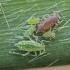 Slyvinis miltamaris - Hyalopterus pruni | Fotografijos autorius : Žilvinas Pūtys | © Macrogamta.lt | Šis tinklapis priklauso bendruomenei kuri domisi makro fotografija ir fotografuoja gyvąjį makro pasaulį.