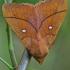 Slyvinis verpikas - Odonestris pruni | Fotografijos autorius : Gintautas Steiblys | © Macrogamta.lt | Šis tinklapis priklauso bendruomenei kuri domisi makro fotografija ir fotografuoja gyvąjį makro pasaulį.