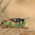 Smėlinė amofila - Ammophila sabulosa | Fotografijos autorius : Agnė Našlėnienė | © Macrogamta.lt | Šis tinklapis priklauso bendruomenei kuri domisi makro fotografija ir fotografuoja gyvąjį makro pasaulį.