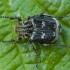 Smailiapilvis grambuoliukas - Valgus hemipterus ♂ | Fotografijos autorius : Žilvinas Pūtys | © Macrogamta.lt | Šis tinklapis priklauso bendruomenei kuri domisi makro fotografija ir fotografuoja gyvąjį makro pasaulį.