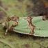 Smaragdinis smiltinukas - Staurophora celsia | Fotografijos autorius : Žilvinas Pūtys | © Macrogamta.lt | Šis tinklapis priklauso bendruomenei kuri domisi makro fotografija ir fotografuoja gyvąjį makro pasaulį.