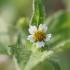 Smulkiažiedė galinsoga - Galinsoga parviflora | Fotografijos autorius : Agnė Našlėnienė | © Macrogamta.lt | Šis tinklapis priklauso bendruomenei kuri domisi makro fotografija ir fotografuoja gyvąjį makro pasaulį.