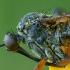 Snapmusė - Empis opaca ♀ | Fotografijos autorius : Žilvinas Pūtys | © Macrogamta.lt | Šis tinklapis priklauso bendruomenei kuri domisi makro fotografija ir fotografuoja gyvąjį makro pasaulį.