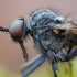 Snapmusė - Rhamphomyia spinipes ♂   Fotografijos autorius : Žilvinas Pūtys   © Macrogamta.lt   Šis tinklapis priklauso bendruomenei kuri domisi makro fotografija ir fotografuoja gyvąjį makro pasaulį.