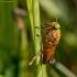 Sparva - Silvius alpinus | Fotografijos autorius : Vaida Paznekaitė | © Macrogamta.lt | Šis tinklapis priklauso bendruomenei kuri domisi makro fotografija ir fotografuoja gyvąjį makro pasaulį.