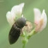 Tamsusis dirvaspragšis - Agriotes obscurus | Fotografijos autorius : Vidas Brazauskas | © Macrogamta.lt | Šis tinklapis priklauso bendruomenei kuri domisi makro fotografija ir fotografuoja gyvąjį makro pasaulį.