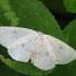 Balsvasis taškasprindis - Cyclophora albipunctata | Fotografijos autorius : Vidas Brazauskas | © Macrogamta.lt | Šis tinklapis priklauso bendruomenei kuri domisi makro fotografija ir fotografuoja gyvąjį makro pasaulį.