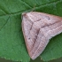 Papartinis sprindžius - Petrophora chlorosata | Fotografijos autorius : Gintautas Steiblys | © Macrogamta.lt | Šis tinklapis priklauso bendruomenei kuri domisi makro fotografija ir fotografuoja gyvąjį makro pasaulį.