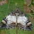 Miškinė cidarija - Dysstroma truncata | Fotografijos autorius : Gintautas Steiblys | © Macrogamta.lt | Šis tinklapis priklauso bendruomenei kuri domisi makro fotografija ir fotografuoja gyvąjį makro pasaulį.