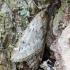 Ankstyvasis sprindžius - Alsophila aescularia | Fotografijos autorius : Kazimieras Martinaitis | © Macrogamta.lt | Šis tinklapis priklauso bendruomenei kuri domisi makro fotografija ir fotografuoja gyvąjį makro pasaulį.